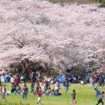 花見の持ち物で便利なのは?子連れで行く時、夜桜の時の持ち物リストは?