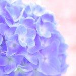 紫陽花の鉢植えに使う土はコレ!用土の割合と培養土を使う場合